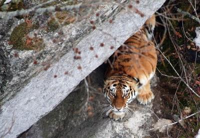 Tiger - John Goodrich